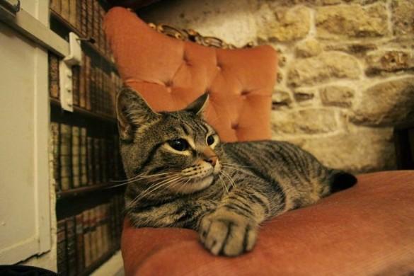 חתול בבית הקפה café des chats בפריז