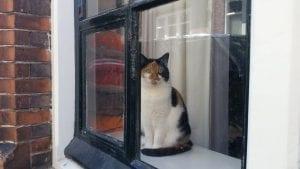 חתול אמסטרדם