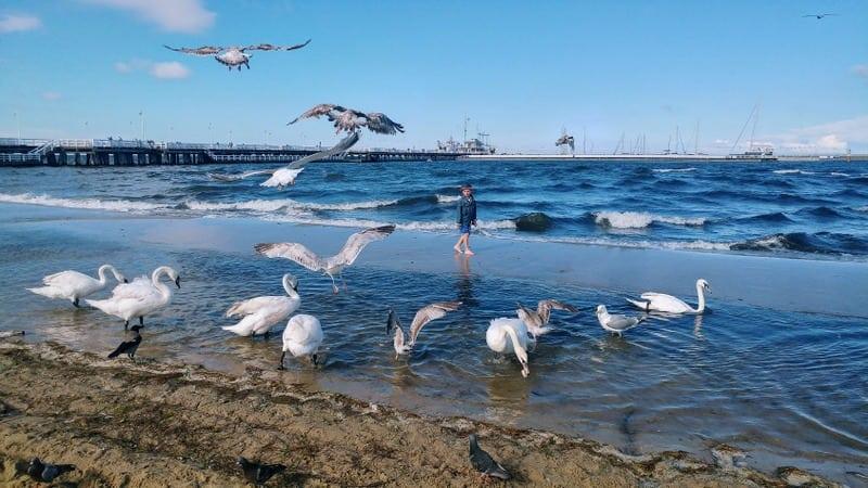 ברבורים בחוף הים בסופוט