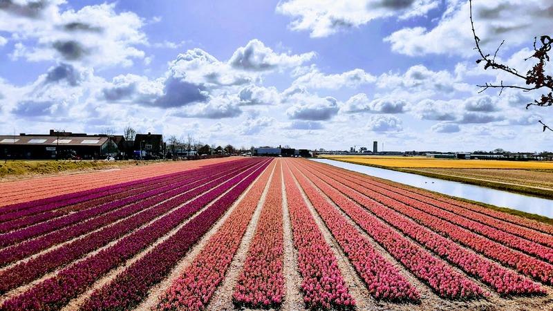 שדות פרחים בהולנד ליד אמסטרדם
