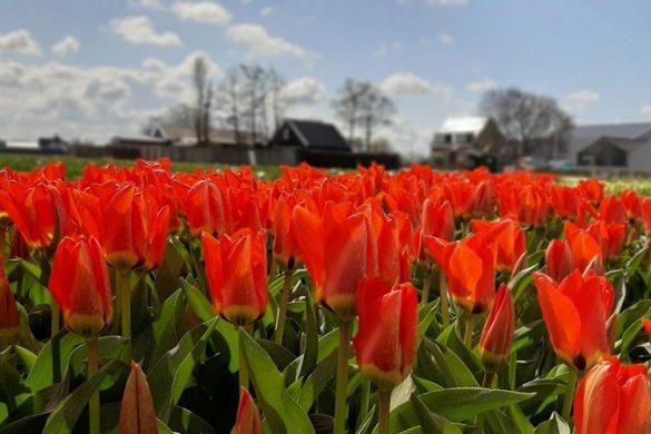 טיול פרחים בהולנד ליד אמסטרדם